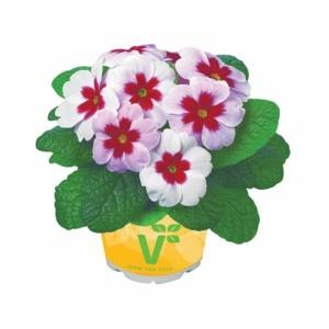 primula-volmary-primula-vulgaris-jupiter-l10.5_1919416_